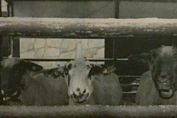 Verein rettet Schaf vor dem Schlachter
